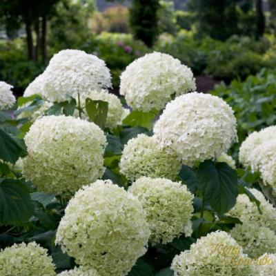 Гортензия древовидная «Аннабель» (Hydrangea arborescens «Annabelle»).