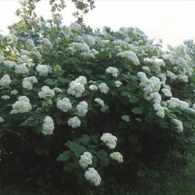 Гортензия древовидная «Хилс оф Сноу» (Hydrangea arborescens «Hills of Snow»)