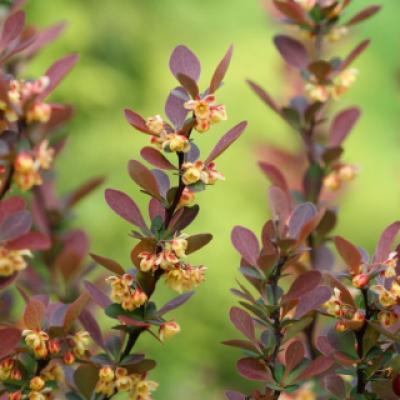 Барбарис оттавский (Berberis × ottawensis)