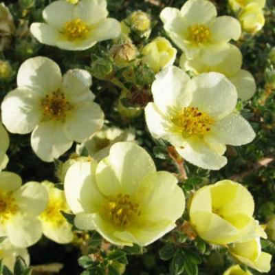 Лапчатка кустарниковая, курильский чай кустарниковый «Клондайк» (Potentilla fruticosa «Klondike»).
