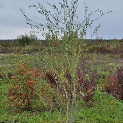 Ива Ледебура «Пирамидалис» (Salix ledebouriana var. pyramidalis)