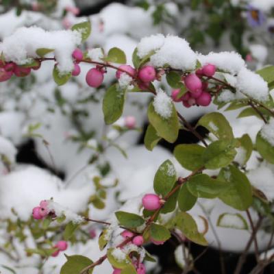 Снежноягодник Доренбоза «Меджик Берри» (Symphoricarpos × doorenbosii «Magic Berry»).