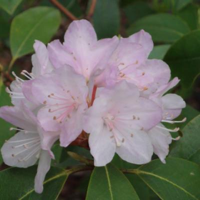 Рододендрон каролинский (Rhododendron carolinianum = R. minus subsp. Minus).