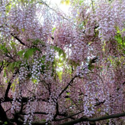 Глициния обильноцветущая (Wisteria floribunda).