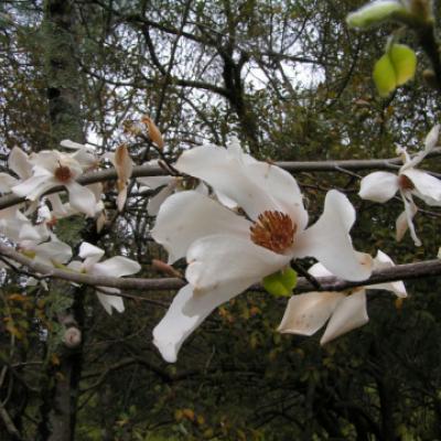 Магнолия кобус (Magnolia kobus)