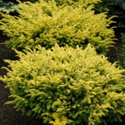 Тис ягодный «Самерголд» (Taxus baccata «Summergold»)