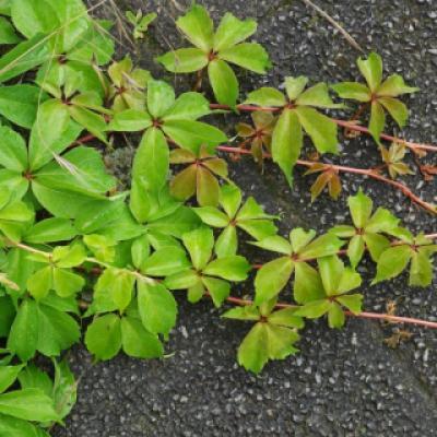 Девичий виноград прикрепленный (Parthenocissus inserta).