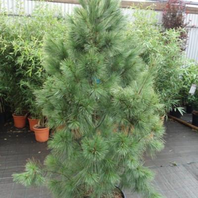Сосна Гриффита «Денза Хил» ( Pinus wallichiana «Densa Hill»)