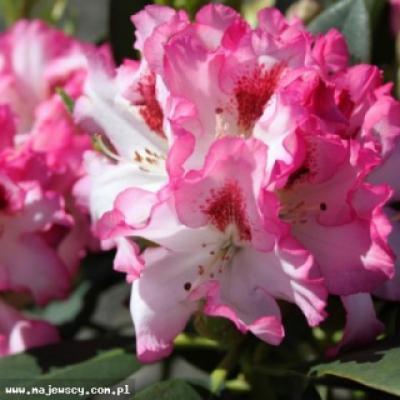 Рододендрон катевбинский «Шарман»( Rhododendron «Charmant»)