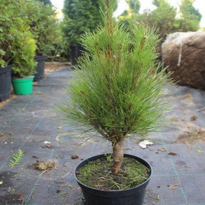 Сосна черная «Пирамидалис» (Pinus nigra «Pyramidalis»)