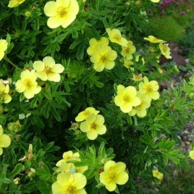 Лапчатка кустарниковая, курильский чай кустарниковый «Фридхем» (Potentilla fruticosa «Fredhem»).