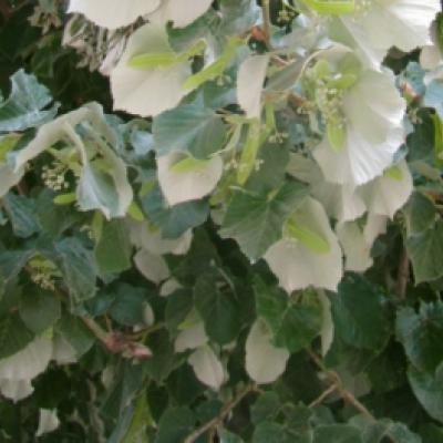 Липа войлочная (серебристая) (Tilia Tomentosa argentea)