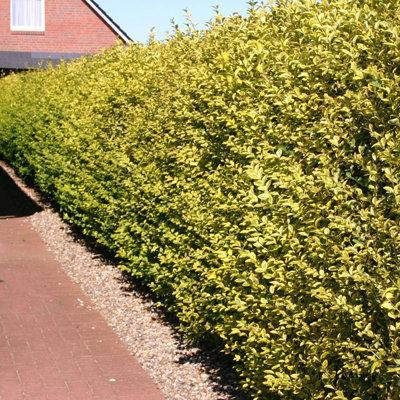 Бирючина обыкновенная «Ауреум» (Ligustrum vulgare «Aureum»).