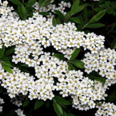 Спирея ниппонская (Spiraea nipponica).