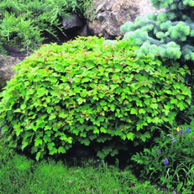Калина обыкновенная «Нанум» (Viburnum opulus «Nanum»).
