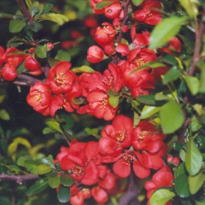 Айва японская низкая, хеномелес японский (Chaenomeles japonica)