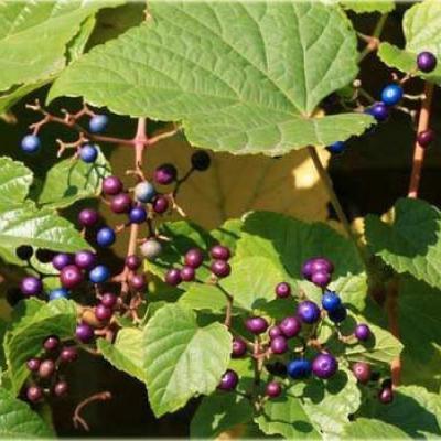 Виноградовник Бодинье (Ampelopsis bodinieri).