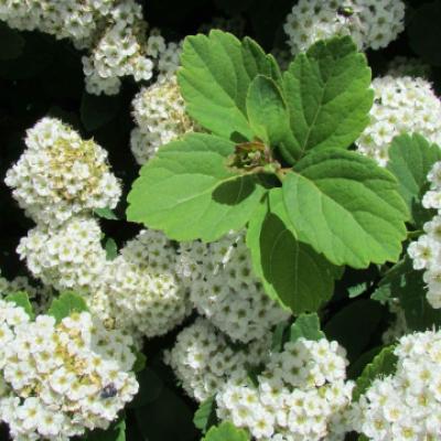 Спирея берёзолистная (Spiraea betulifolia).
