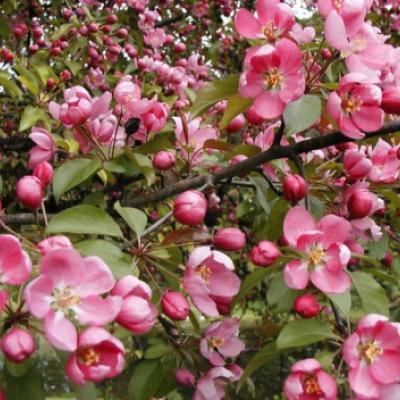 Яблоня «Макамик» (Malus «Makamik»)