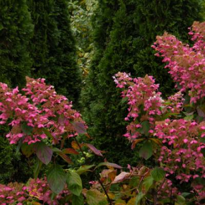 Гортензия метельчатая «Ангел Блаш» = «Руби» (Hydrangea paniculata «Angels Blush» «Ruby»).
