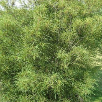 Крушина ольховидная, ломкая «Аспленифолия» (Frangula alnus «Aspleniifolia»).