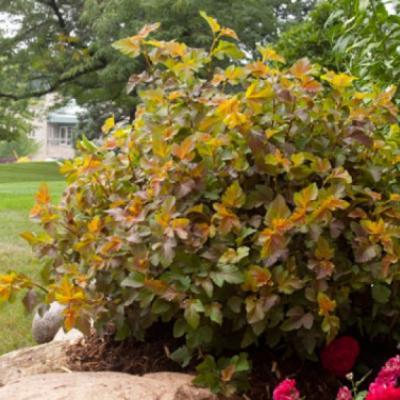 Пузыреплодник калинолистный, спирея калинолистная «Эмбер Джубиле» = «Джефам» (Phusocarpus оpulifolius «Amber Jubilee» ==«Jefam»).