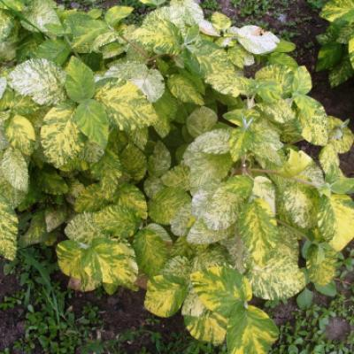 Калина гордовина «Вариегатум» (Viburnum lantana «Variegatum»).
