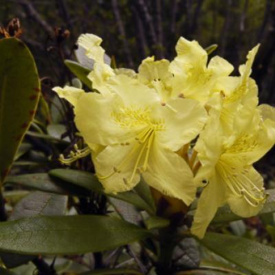Рододендрон золотистый (Rhododendron aureum).