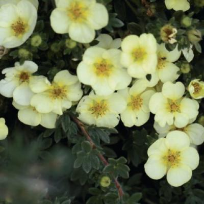 Лапчатка кустарниковая, курильский чай кустарниковый «Катерина Дукс» (Potentilla fruticosa «Katherine Dykes»).
