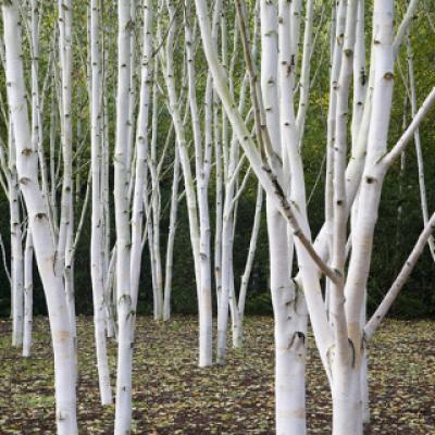 Береза полезная «Доренбоз» (Betula utilis «Doorenbos»)