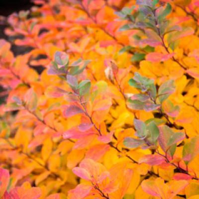 Спирея берёзолистная «Тор Голд» (Spiraea betulifolia «Tor Gold»)