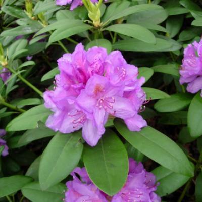 Рододендрон катевбинский «Катэвбинский Бурсо» (Rhododendron «Catawbiense Boursault»).
