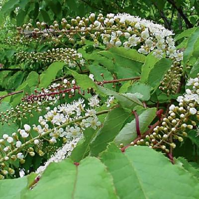 Черемуха сьори (Prunus ssiori = Padus ssiori)