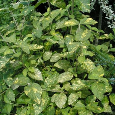Калина гордовина «Ауреовариегата» (Viburnum lantana «Aureovariegata»).