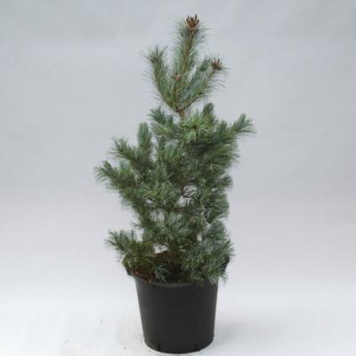 Сосна мелкоцветковая «Глаука» (Pinus parviflora «Glauca»)