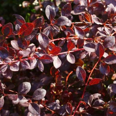 Барбарис оттавский «Аурикома» (Berberis × ottawensis «Auricoma»).