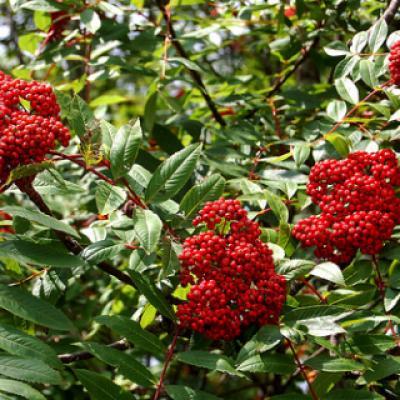 Рябина красивая, нарядная (Sorbus decora)