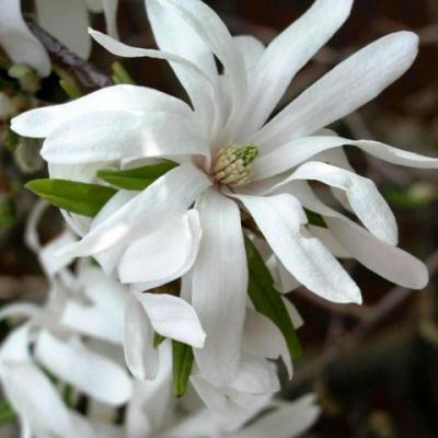 Магнолия звездчатая «Роял Стар» (Magnolia stellata «Royal Star»)