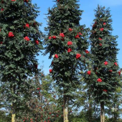 Рябина обыкновенная «Фастигиата» (Sorbus aucuparia «Fastigiata»)