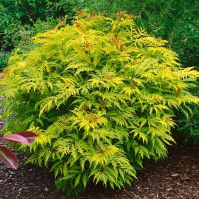 Бузина кистистая, бузина красная «Сазерланд Голд» (Sambucus racemosa «Sutherland Gold»)