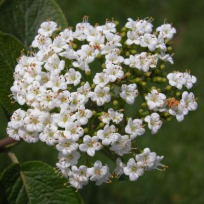 Калина гордовина (Viburnum lantana).