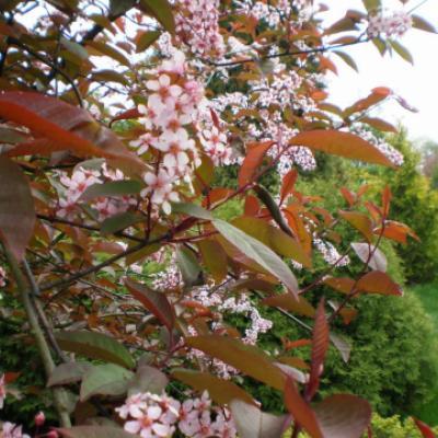 Черемуха обыкновенная «Colorata» (Prunus padus «Colorata»)
