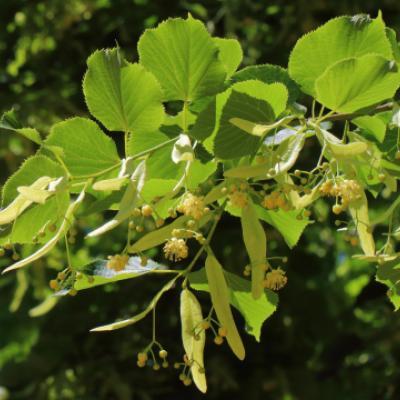 Липа американская, черная (Tilia americana).