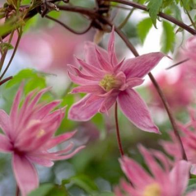 Княжик крупнолепестковый «Маркамс Пинк» (Atragene macropetala «Markhams Pink»).