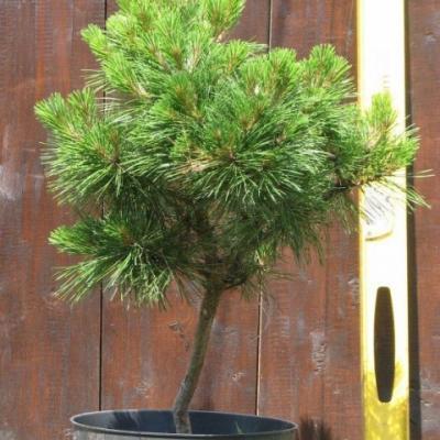 Сосна черная «Глобоза» (Pinus nigra «Globosa»)