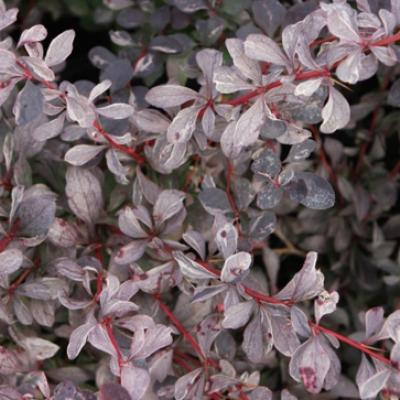 Барбарис оттавский «Сильвер Майлс» (Berberis × ottawensis «Silver Miles»)