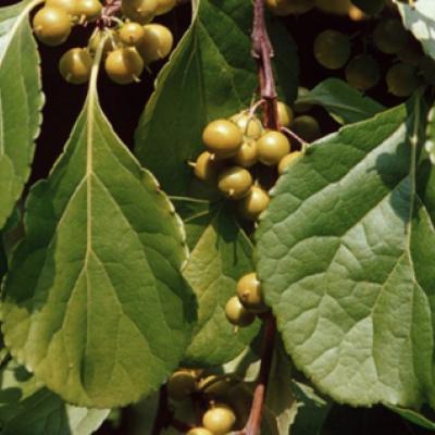 Древогубец щетковидный (Celastrus orbiculatus var. strigillosus)