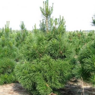 Сосна скрученная «Компакта» (Pinus contorta «Compacta»)