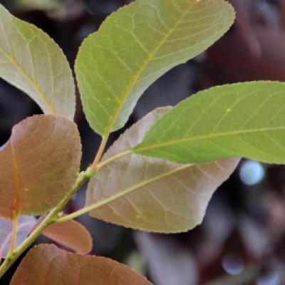 Черемуха виргинская «Шуберт» (Prunus virginiana «Shubert»)