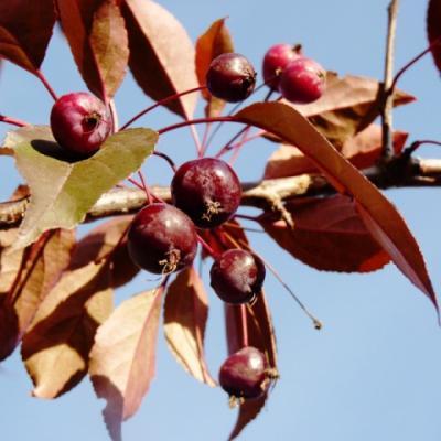 Яблоня «Роялти» (Malus «Royalty»)